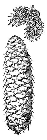 A picture of a silver fir cone and a small branch. The silver fir is a fir tree native to the mountains of Europe, where it is integrated with the related Bulgarian fir, vintage line drawing or engraving illustration. Vettoriali