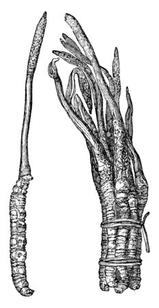 This is image of Cordycep fungus. Cordyceps species are particularly abundant and diverse in humid temperate and tropical forests, vintage line drawing or engraving illustration.
