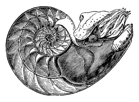 This image represents Nautilus Pompilius showing the interior of the lower cell to which the animal is fixed vintage line drawing or engraving illustration. Illustration