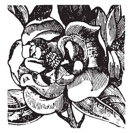 A picture showing the flower of Magnolia tree, vintage line drawing or engraving illustration. Ilustrace