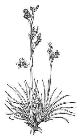 The lower side bunch of leaves, and leaves are very slim and long, leaves attach to roots, one stem gone straight, the flowers grown on the stem, vintage line drawing or engraving illustration.