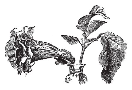 A picture is showing Datura Fastuosa, datura cornucopia is common name. Leaves are alternate with a toothed margin and the flowers are erect or spreading. They have trumpet-shaped and broad at the mouth, vintage line drawing or engraving illustration.