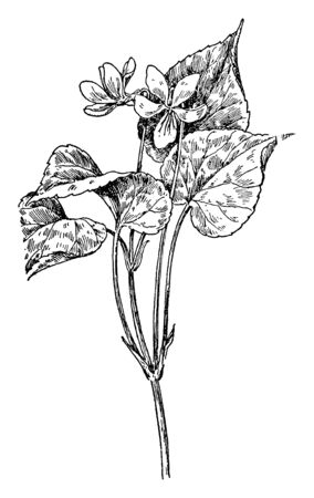 Canada Violet (Viola canadensis) is a tall white flower and yellow at the base mainly found in the region of Canada and in United States. Mostly grown in cool temperature, vintage line drawing or engraving illustration. 矢量图像