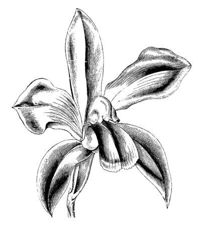 The flower of Cattleya Bicolor has a fragrance with a spicy scent. The petals and sepals are olive-green in color, vintage line drawing or engraving illustration.