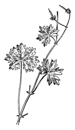 A picture is showing Awnless Geranium, also known as Geranium molle. This is an annual herbaceous plant, which belongs to Geraniaceae family. The flowers are pinkish-purple, vintage line drawing or en