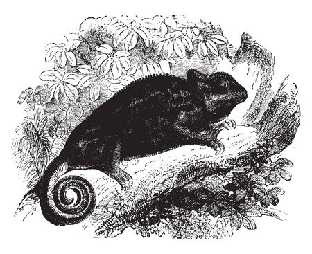 Common chameleon of Europe is native to India and parts of Northern Africa, vintage line drawing or engraving illustration.