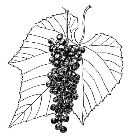 Woody vines has simple often lobed leaves and its fruit is a smooth-skinned juicy light green or deep red to purplish black berry, eaten dried or fresh, vintage line drawing or engraving illustration.