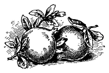 A picture is showing branch of Pomegranate tree with its fruits. Pomegranate is a red fruit filled with dozens of seeds cased in a juicy membrane, vintage line drawing or engraving illustration.