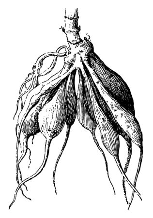 In this image showing a fascicled root. The stems are rounded. The roots are attached to stems. The roots are very thick and dense, vintage line drawing or engraving illustration.