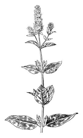 Peppermint (Mentha piperita) is an aromatic plant, created from the blending of watermint and spearmint. It is used in the production of peppermint oil by distillation, vintage line drawing or engraving illustration. Illusztráció
