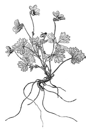 A picture shows branch of Viola Sheltonii Plant. The fan-like leaf blades are each divided into leaflets which are deeply dissected into narrow segments, the whole blade borne on a long petiole, vintage line drawing or engraving illustration.