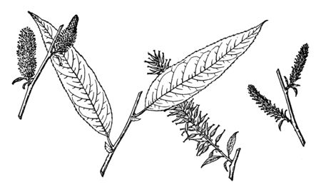 Picture shows the Branch of Salix Missouriensis. Leaves are heart-shaped at the base and are hairy underneath. This multi-trunked small tree has dark, scaly bark. This is a fast-growing small tree, vintage line drawing or engraving illustration.