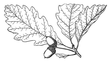 The genus Quercus is native to the Northern Hemisphere, and includes deciduous and evergreen species extending from cool temperate to tropical latitudes in the Americas, Asia, Europe, and North Africa, vintage line drawing or engraving illustration.
