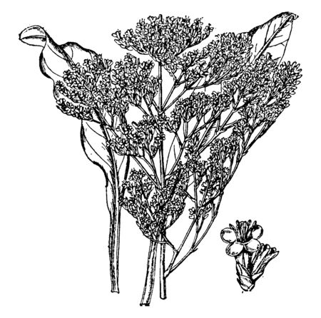 This is plant of Limonium Vulgare. Each branch bears two or three flowers. The spikes are spreading and often curved backwards, vintage line drawing or engraving illustration.