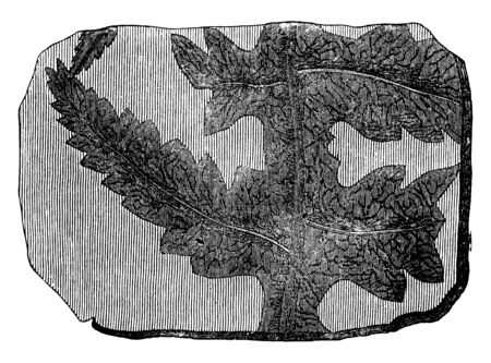 A picture showing the branch of Phlebopteris Fossile fern which is a characteristic Oolite fern, vintage line drawing or engraving illustration.