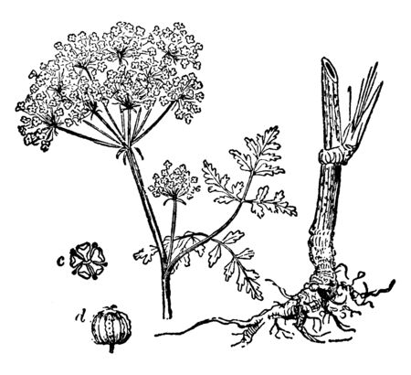 Northern water hemlock is a species of Cicuta. The stems are smooth, branching, swollen at the base, purple-striped. The flowers are small white, vintage line drawing or engraving illustration. Illustration