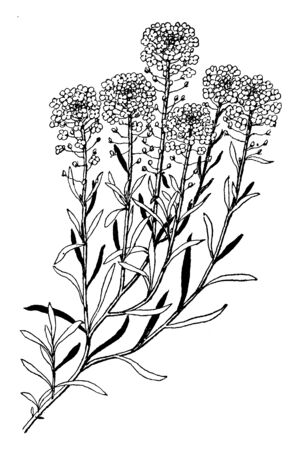 A picture shows Sweet Alyssum Plants. A member of the mustard family, sweet alyssum is quite fragrant. It grows only a few inches high but spreads at foot and the leaves taper to the base, vintage line drawing or engraving illustration. Stok Fotoğraf - 132823768