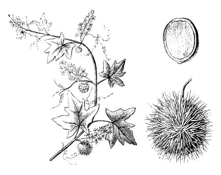 This Plant is commonly divided into annuals and perennials, but under these names are many separate classes, vintage line drawing or engraving illustration.