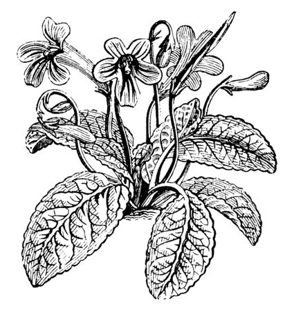 The leaves and flowers of the herb Cape Primrose. It is an herb of the genus Streptocarpus which is cultivated for its primrose like flowers, vintage line drawing or engraving illustration.