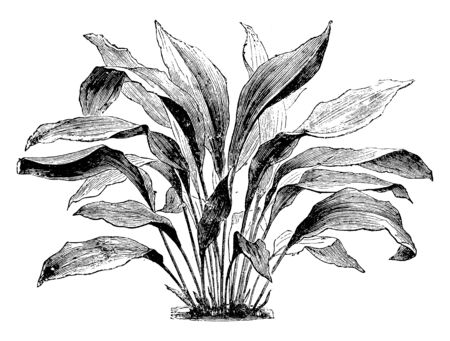 The leaves are growing alone. There are many veins in each leaf. The stem appears beneath the leaves and stalk is very long, vintage line drawing or engraving illustration.