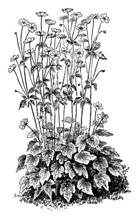 A picture is showing a plant of Anemone Japonica. The flowers of Anemone Japonica are rosy purple or purplish red, vintage line drawing or engraving illustration.