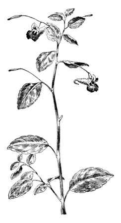An illustration of the branch & stem of Jewelweed or Impatiens pallida. Its well known as touch-me-not in family Balsaminaceae. Jewel-Weed is a genus of almost 1,000 species of flowering plants, vintage line drawing or engraving illustration. Illusztráció