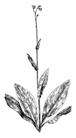 A picture is showing a branch and flower of Wild Comfrey also known as Symphytum Officinale. It is an important herb in organic gardening, having many medicinal and fertilizer uses, vintage line drawi 일러스트