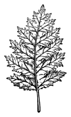 An acanthus mollis is strongly sinuate, the leaf is curved at top side and margin is rugged and upper side is narrow, vintage line drawing or engraving illustration. Illustration
