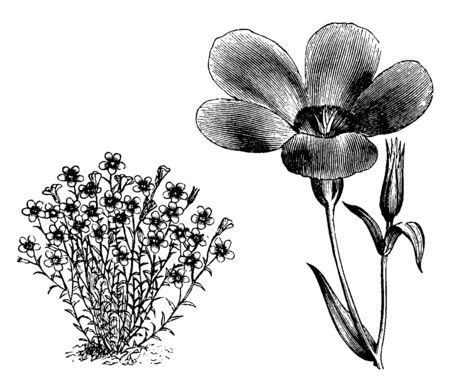 Linum Grandiflorum is a flowering plant and it is a species of flax. Its flowers are rose colored, vintage line drawing or engraving illustration. Illustration