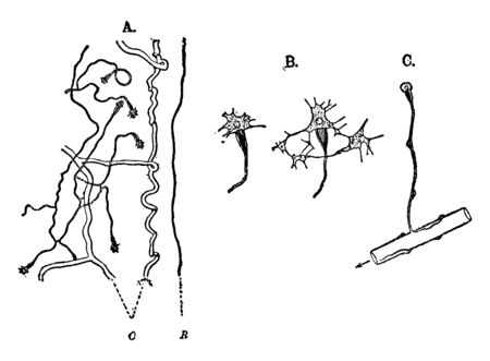 Protonephridium is a network of dead end tubules lacking internal openings found in the phyla Platyhelminthes, vintage line drawing or engraving illustration.