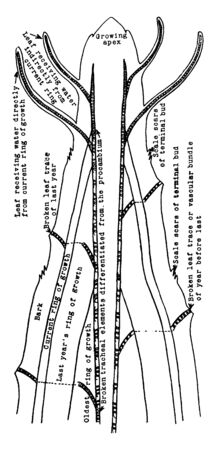 A Diagram showing the relation of this years leaves to the wood of the current year, vintage line drawing or engraving illustration.