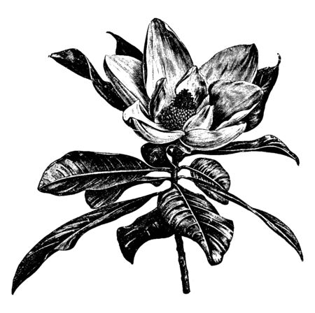 The flowers of Magnolia Grandifolia grow up, it is surrounded by leaves. This flower is in summer, flowers are 6 to 8 in diameter, vintage line drawing or engraving illustration.