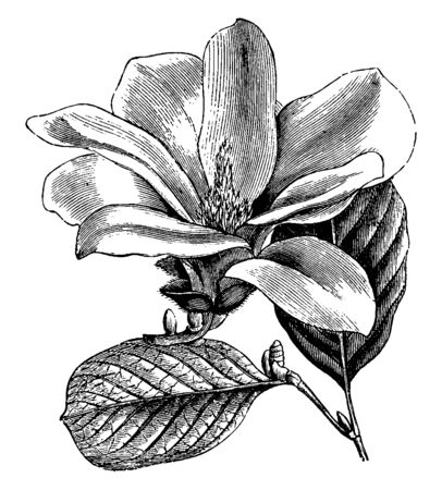 This flower and leaves are of Magnolia Conspicua, its flowers are white and sometimes also of purple forms, its flowers are fragrant and they are spread extensively in the day, vintage line drawing or engraving illustration. Illusztráció