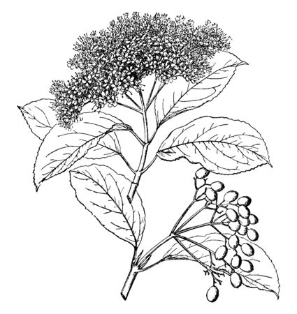 Viburnum Cassinoides is a deciduous shrub. The flowers are creamy-white, vintage line drawing or engraving illustration. Иллюстрация