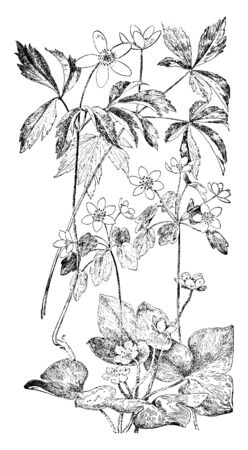 Pictured are the orders of crowfoot family (Ranunculaceae), the flowers of these orders that are illustrated including 1.Wood Anemone 2. Rue Anemone 3. Liverwort, vintage line drawing or engraving ill