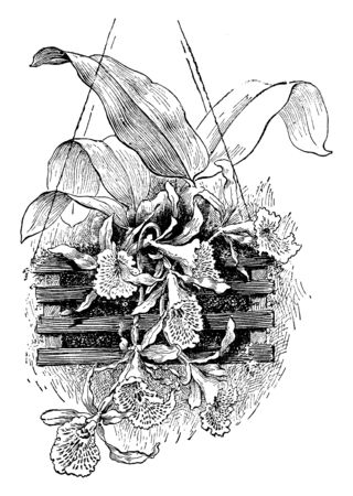 Un'immagine mostra la pianta di Trichopilia Suavis. La pianta è di buone dimensioni compatte, ma i fiori sono abbastanza grandi per la pianta e sono stupendi da guardare, disegno di linee vintage o illustrazione di incisione. Vettoriali