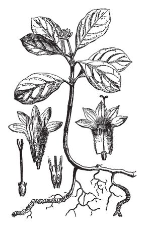 This plant has been used since ancient times especially as a source of a drug to treat poisoning by inducing nausea and vomiting. The name also refers to the drug itself, vintage line drawing or engraving illustration.