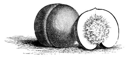 In this picture showing Clingstone Nectarine fruit with firm flesh as Clingstone, vintage line drawing or engraving illustration. Foto de archivo - 133236392
