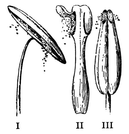 This image of Modes of discharging pollen. and pore at the top of each Anther-lobe, vintage line drawing or engraving illustration. Illustration