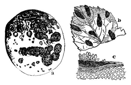 A picture showing an infested apple, infested leaf and a fruit with scabs caused by the fungus, vintage line drawing or engraving illustration.