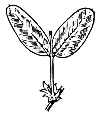 A two Leaflet pairs of V. Americana plant. The leaves are of oval shaped size, vintage line drawing or engraving illustration.  イラスト・ベクター素材