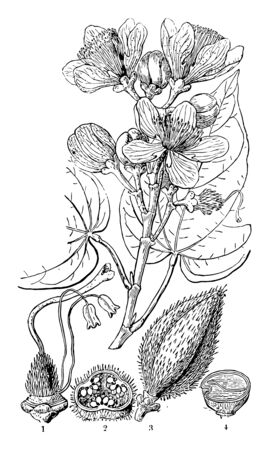 This frame has shown the process until flowering from forming a flower bud to it vintage line drawing or engraving illustration.