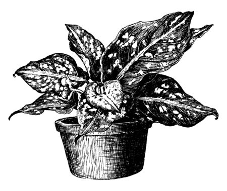Aglaonema Costatum is a genus of flowering plant. Its leaves are dark green with an ivory white midrib, vintage line drawing or engraving illustration.