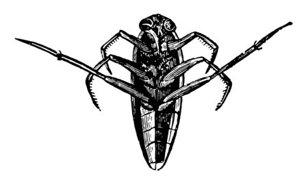 Notonecta Glauca is a blood thirsty insect vintage line drawing or engraving illustration.