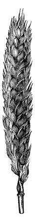 This wheat is bigger and thicker, they grow on all sides of the stump, vintage line drawing or engraving illustration.