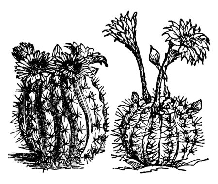 Cacti is genus of Cactaceae, which enables to survive harsh and dry climates, vintage line drawing or engraving illustration.