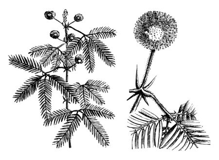 Mimosa pudica plants have compound leaves and small globular pink or mauve flower puffs. The leaves droop in response to darkness and reopen with daylight, a phenomenon known as nyctinastic movement, vintage line drawing or engraving illustration.