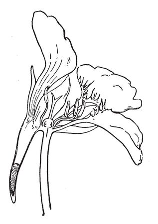 The Picture shows nasturtium Flower which is cut through the middle to show the spur part and nectar part. Petals, filaments, stigma with ovary containing ovule and having anther at its apex, vintage line drawing or engraving illustration.
