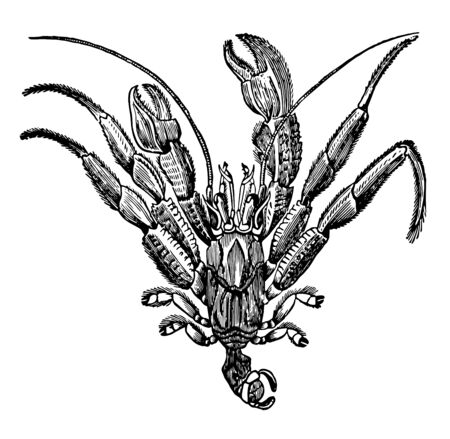 Pagurus Bernhardus Out of the Shell which is the oddest and most curious of the Crustaceans vintage line drawing or engraving illustration. Illusztráció