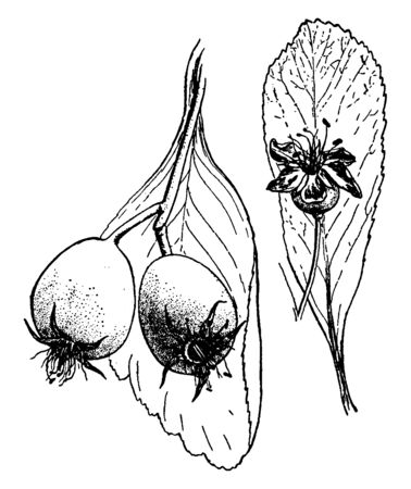 This pictures showing a rose flower. It is shows flower ovary and leaves, vintage line drawing or engraving illustration.